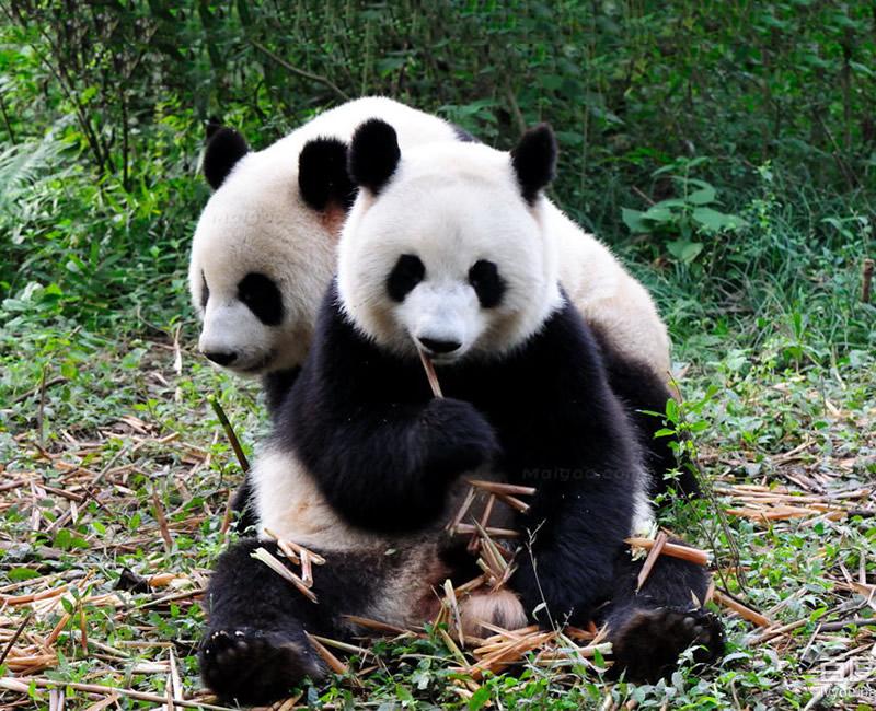 游客在汉中观赏大熊猫 为让