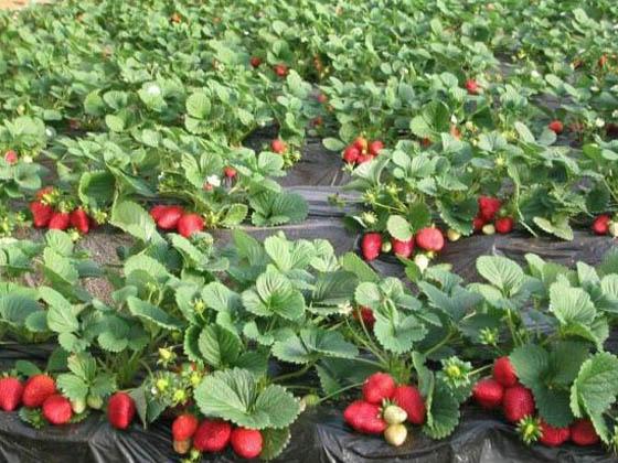 刘家峡摘草莓一日游